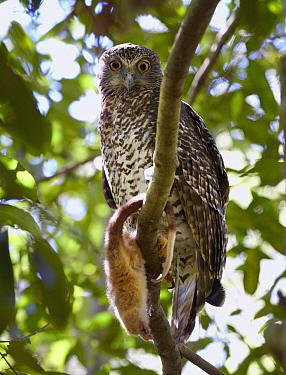 Powerful Owl (Ninox strenua) with Common Ringtail Possum (Pseudocheirus peregrinus) prey, Sydney, New South Wales, Australia  -  Martin Willis