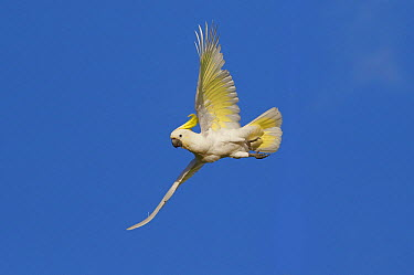 Sulphur-crested Cockatoo (Cacatua galerita) flying, Magnetic Island, Queensland, Australia  -  Martin Willis