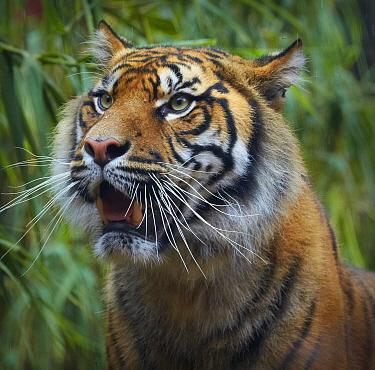 Sumatran Tiger (Panthera tigris sumatrae) with open mouth, Toronga Zoo, Sydney, New South Wales, Australia  -  Martin Willis