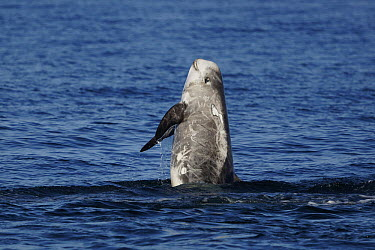 Risso's Dolphin (Grampus griseus) breaching, Monterey Bay, California  -  Hiroya Minakuchi