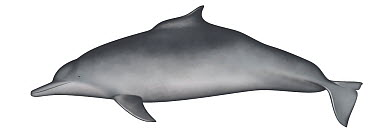 Atlantic Hump-backed Dolphin (Sousa teuszii)  -  Yumiko Wakisaka