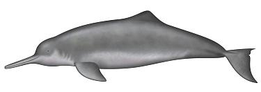 Yangtze River Dolphin (Lipotes vexillifer)  -  Yumiko Wakisaka