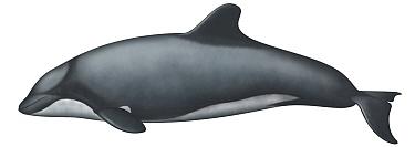 Chilean Dolphin (Cephalorhynchus eutropia)  -  Yumiko Wakisaka