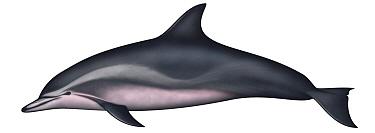 Clymene Dolphin (Stenella clymene)  -  Yumiko Wakisaka