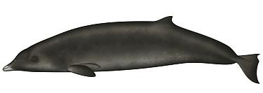 Ginkgo-toothed Beaked Whale (Mesoplodon ginkgodens)  -  Yumiko Wakisaka