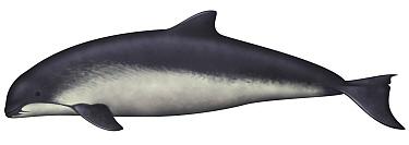 Harbor Porpoise (Phocoena phocoena)  -  Yumiko Wakisaka