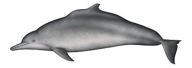 Indian Humpback Dolphin (Sousa plumbea)  -  Yumiko Wakisaka