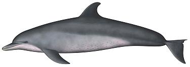 Indo-Pacific Humpbacked Dolphin (Sousa chinensis)  -  Yumiko Wakisaka