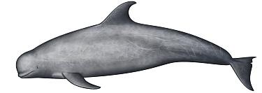 Risso's Dolphin (Grampus griseus)  -  Yumiko Wakisaka