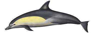 Common Dolphin (Delphinus delphis)  -  Yumiko Wakisaka