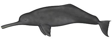 Ganges River Dolphin (Platanista gangetica)  -  Yumiko Wakisaka
