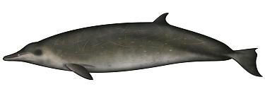 Sowerby's Beaked Whale (Mesoplodon bidens)  -  Yumiko Wakisaka