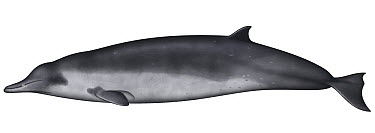 Spade-toothed Whale (Mesoplodon traversii)  -  Yumiko Wakisaka