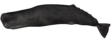Sperm Whale (Physeter macrocephalus)  -  Yumiko Wakisaka