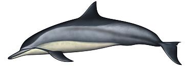 Spinner Dolphin (Stenella longirostris)  -  Yumiko Wakisaka