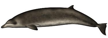 Stejneger's Beaked Whale (Mesoplodon stejnegeri)  -  Yumiko Wakisaka
