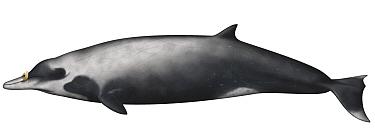 Strap-toothed Whale (Mesoplodon layardii)  -  Yumiko Wakisaka