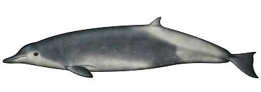 True's Beaked Whale (Mesoplodon mirus)  -  Yumiko Wakisaka