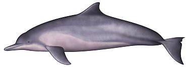 Tucuxi River Dolphin (Sotalia fluviatilis)  -  Yumiko Wakisaka