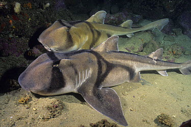 Port Jackson Shark (Heterodontus portusjacksoni) pair, New South Wales, Australia  -  Fred Bavendam