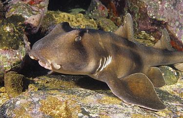 Crested Bullhead Shark (Heterodontus galeatus), New South Wales, Australia  -  Fred Bavendam
