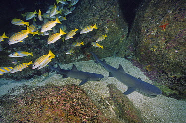 White-tip Reef Shark (Triaenodon obesus) pair on bottom below Blue-and-gold Snapper (Lutjanus viridis) school, Cocos Island, Costa Rica  -  Fred Bavendam