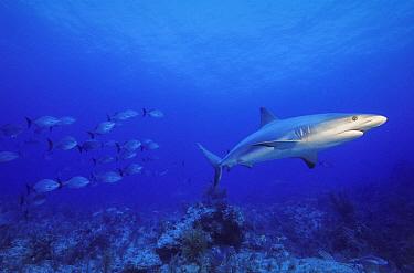 Caribbean Reef Shark (Carcharhinus perezii) and Bermuda Sea Chub (Kyphosus sectatrix) school, Bahamas, Caribbean  -  Fred Bavendam
