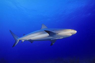 Caribbean Reef Shark (Carcharhinus perezii), Bahamas, Caribbean  -  Fred Bavendam