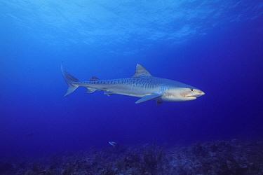 Tiger Shark (Galeocerdo cuvieri), Bahamas, Caribbean  -  Fred Bavendam
