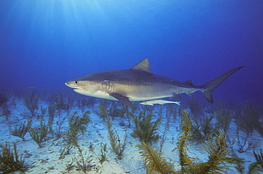 Tiger Shark (Galeocerdo cuvieri) with attached Remora (Remora sp), Bahamas, Caribbean  -  Fred Bavendam