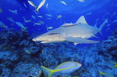 Lemon Shark (Negaprion brevirostris) with attached Remora (Remora sp) swimming over reef, Bahamas, Caribbean  -  Fred Bavendam