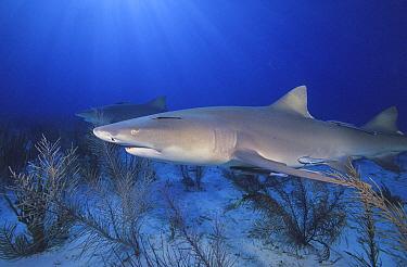Lemon Shark (Negaprion brevirostris), Bahamas, Caribbean  -  Fred Bavendam