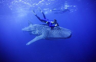 Whale Shark (Rhincodon typus) and snorkelers, Western Australia, Australia  -  Fred Bavendam
