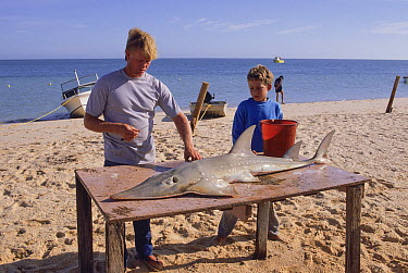 White-spotted Guitarfish (Rhynchobatus djiddensis) catch being cleaned by fisherman and his son, Western Australia, Australia  -  Fred Bavendam