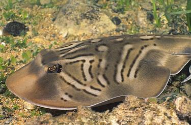 Southern Fiddler Ray (Trygonorrhina fasciata), South Australia, Australia  -  Fred Bavendam