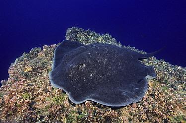 Speckled Stingray (Taeniura meyeni), Galapagos Islands, Ecuador  -  Fred Bavendam