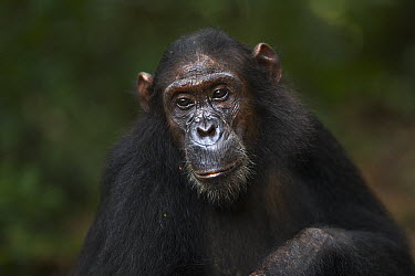 Eastern Chimpanzee (Pan troglodytes schweinfurthii) thirteen year old sub-adult female, named Glitter, Gombe National Park, Tanzania  -  Anup Shah