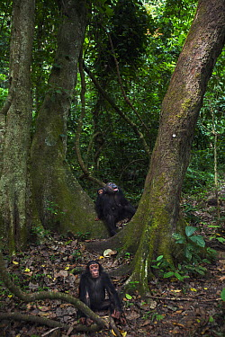 Eastern Chimpanzee (Pan troglodytes schweinfurthii) forty year old female, named Gremlin, carrying young and scanning canopy for fruit, with her seven year old juvenile son, named Gimli, in the foregr...  -  Anup Shah