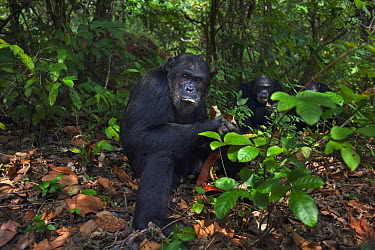 Eastern Chimpanzee (Pan troglodytes schweinfurthii) nineteen year old alpha male, named Ferdinand, feeding on seed pods with thirty-two year old male, named Apollo, and twenty-two year old male, named...  -  Anup Shah