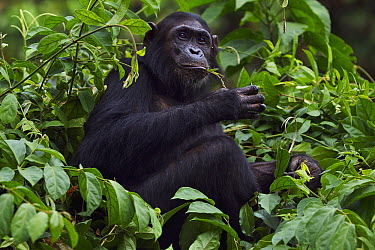 Eastern Chimpanzee (Pan troglodytes schweinfurthii) thirteen year old sub-adult female, named Glitter, feeding on plant stems, Gombe National Park, Tanzania  -  Anup Shah