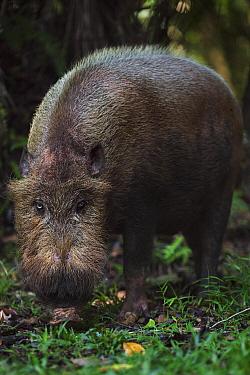 Bearded Pig (Sus barbatus) foraging, Bako National Park, Sarawak, Borneo, Malaysia  -  Anup Shah
