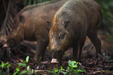 Bearded Pig (Sus barbatus) pair foraging, Bako National Park, Sarawak, Borneo, Malaysia  -  Anup Shah