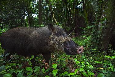 Bearded Pig (Sus barbatus) in rainforest, Bako National Park, Sarawak, Borneo, Malaysia  -  Anup Shah