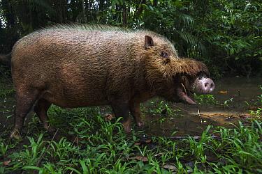 Bearded Pig (Sus barbatus) male in defensive posture, Bako National Park, Sarawak, Borneo, Malaysia  -  Anup Shah