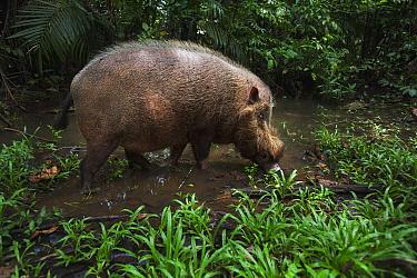 Bearded Pig (Sus barbatus) male foraging in muddy pool, Bako National Park, Sarawak, Borneo, Malaysia  -  Anup Shah