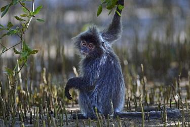 Silvered Leaf Monkey (Trachypithecus cristatus) in mangrove swamp, Bako National Park, Sarawak, Borneo, Malaysia  -  Anup Shah