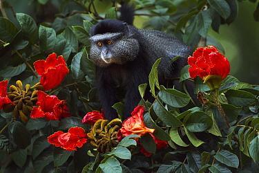 Blue Monkey (Cercopithecus mitis) feeding on African Tulip Tree (Spathodea sp) seed pods, Kakamega Forest Reserve, Kenya  -  Anup Shah