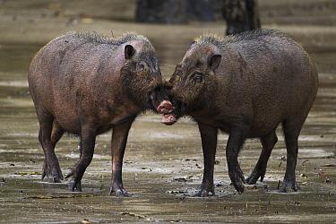 Bearded Pig (Sus barbatus) pair play-fighting, Bako National Park, Sarawak, Borneo, Malaysia  -  Fiona Rogers