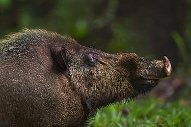 Bearded Pig (Sus barbatus), Bako National Park, Sarawak, Borneo, Malaysia  -  Fiona Rogers