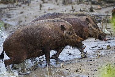 Bearded Pig (Sus barbatus) pair leaving river after crossing, Bako National Park, Sarawak, Borneo, Malaysia  -  Fiona Rogers